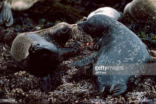 Harbor seal and pup touch noses. Phoca vitulina. Monterey Bay, California.
