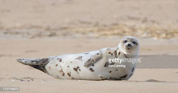 harbor seal basking on sandy beach - baby seal stock photos and pictures