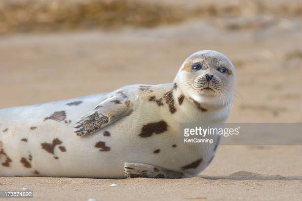Harbor Seal Sonnenbad am Sandstrand