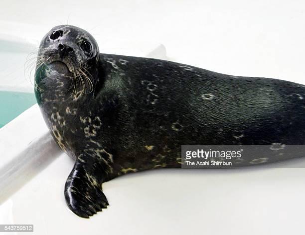 Harbor seal caught near Cape Erimomisaki arrives in the Noboribetsu Marine Park Nixe on June 29, 2016 in Noboribetsu, Hokkaido, Japan. The...