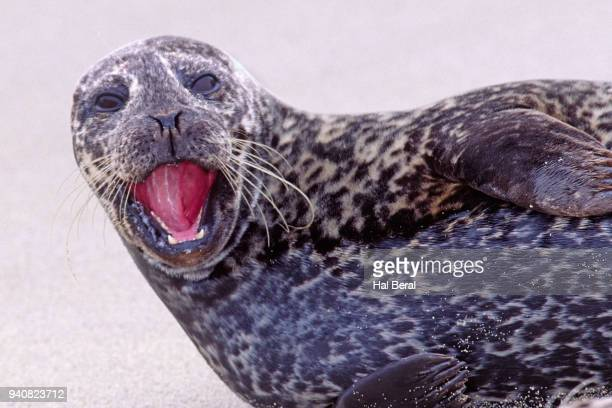 Harbor Seal close-up with open mouth