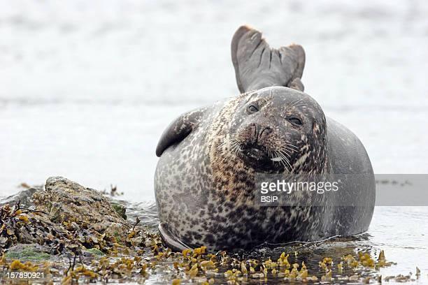 Harbor Seal Harbor Seal Shetland Islands ScotlandPhoca Vitulina Harbor Seal Seal Phocid Marine Mammal Mammal