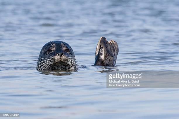 Harbor Seal (Phoca vitulina) in the Morro Bay, CA