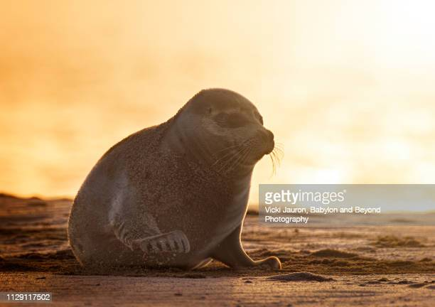 harbor seal in warm light at sunrise at jones beach, long island - wantagh stock pictures, royalty-free photos & images