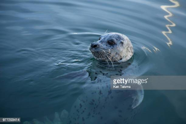 Harbor Seal (Phoca vitulina) in water, Canada