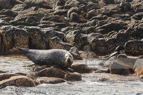 Harbor Seal on barnacle covered sea stack in the Bering Sea