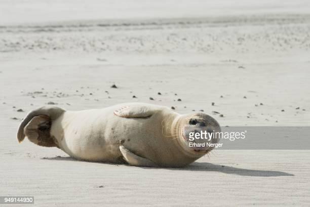 harbor seal (phoca vitulina) on the beach of langeoog, east frisia, lower saxony, germany - insel langeoog stock-fotos und bilder