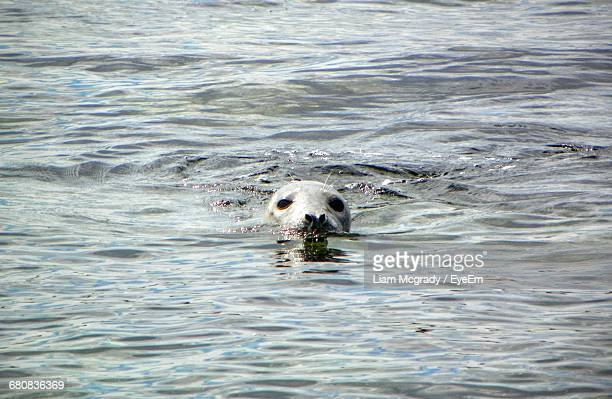 Harbor Seal Peeking Out Of Sea