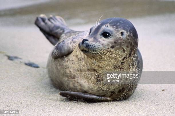 harbor seal pup resting on beach - seal pup stock photos and pictures