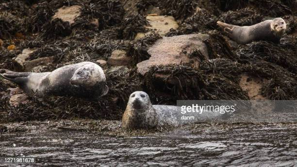harbor seal resting on a big bed of seaweed in scotland. - leopard seal stock pictures, royalty-free photos & images