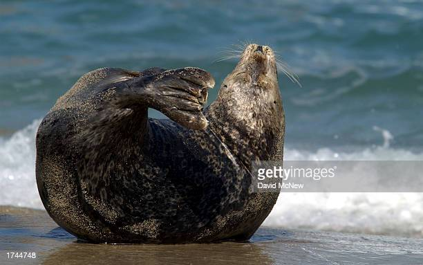 A harbor seal stretches while slumbering at Children's Pool Beach January 24 2003 in La Jolla California Since taking over the beach the area has...