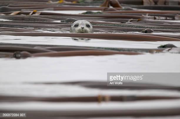 Harbor seal (Phoca vitulina) swimming, head above kelp