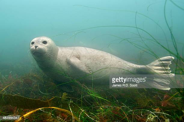 Harbor seal swimming in Kelp