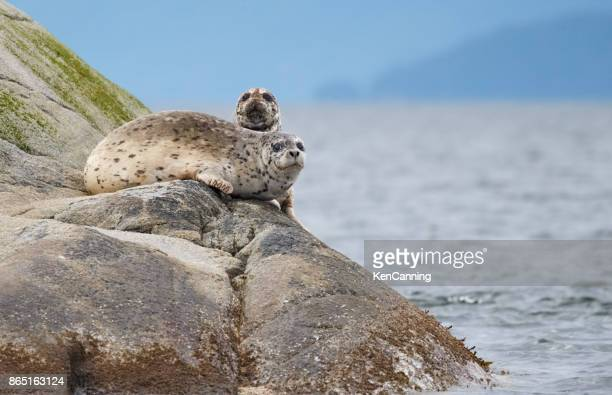 harbor seals basking on a rocky island in the ocean - pacific ocean stock pictures, royalty-free photos & images