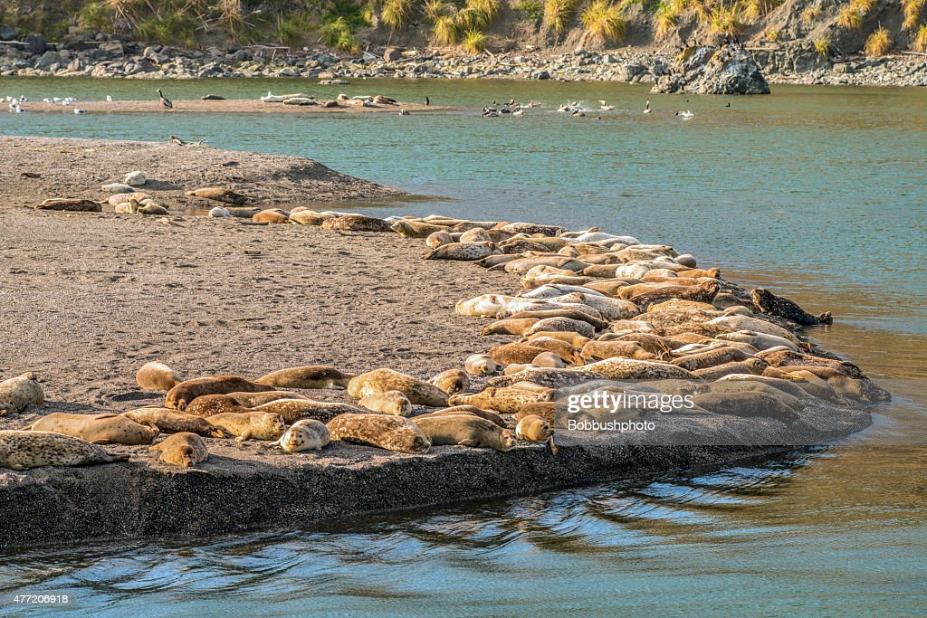 Harbor Seals, Bodega Bay : Stock Photo