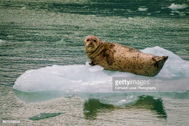 Harbor Seals on a LeConte Glacier Ice Flow.