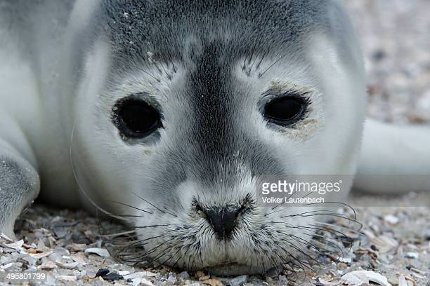 Harbour Seal -Phoca vitulina-, pup, East Frisian Islands, East Frisia, Lower Saxony, Germany