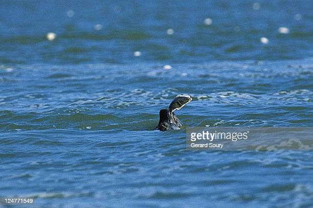 harbour seal, phoca vitullina vitullina, eating a flounder, in front of le crotoy, baie de somme, france - ソム ストックフォトと画像