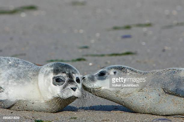 Harbour Seals -Phoca vitulina-, pups, East Frisian Islands, East Frisia, Lower Saxony, Germany