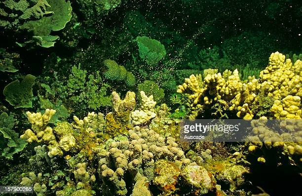 Hard coral spawning Great Barrier Reef Queensland Australia