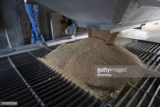 Hard red winter wheat is unloaded at a grain elevator during harvest in Zurich Kansas US on Thursday June 29 2017 Spring wheat prices posted wide...
