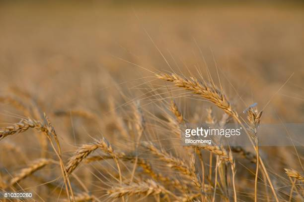 Hard red winter wheat stands in a field during harvest in Plainville Kansas US on Wednesday June 28 2017 Spring wheat prices posted wide swings after...