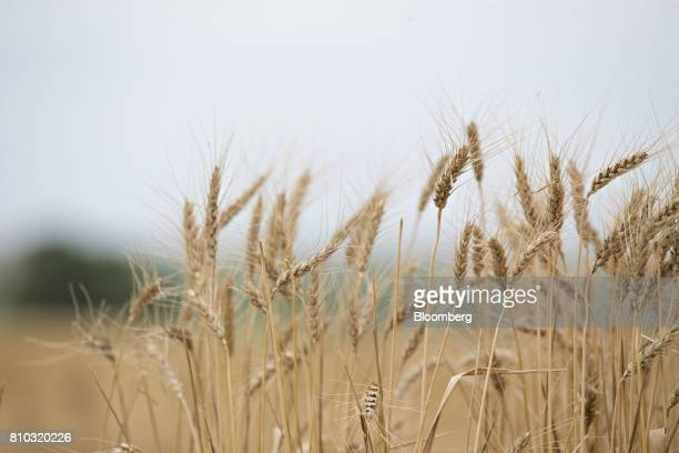 Hard red winter wheat stands in a field during harvest in Zurich Kansas US on Thursday June 29 2017 Spring wheat prices posted wide swings after...