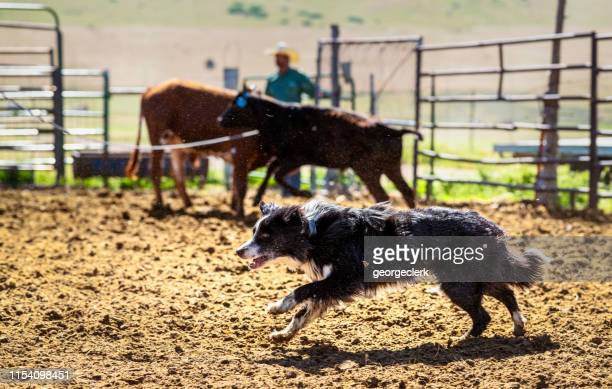 hard working farm dog - livestock stock pictures, royalty-free photos & images