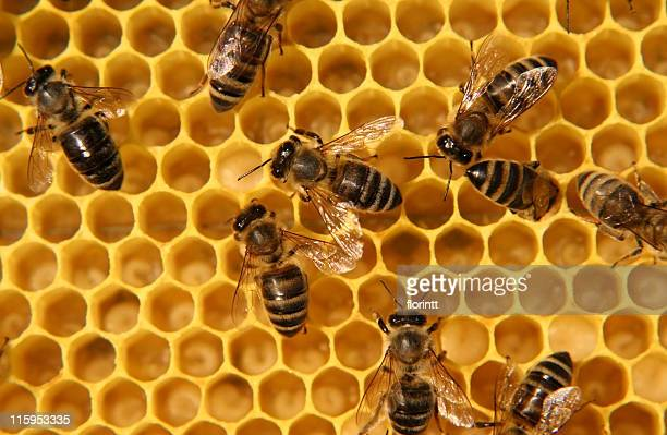 Hard-working bees are making honey