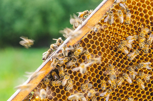 Hardworking honey bees on honeycomb in apiary in late summertime 1142014718