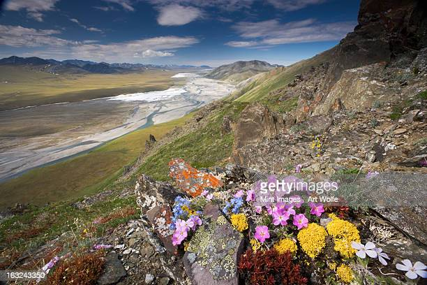Hardy alpine or arctic wildflowers grow only a few inches high in order to reduce exposure to the moisture-robbing winds, Arctic National Wildlife Refuge.