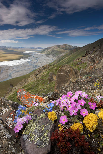 Hardy alpine or arctic wildflowers grow only a few inches high in order to reduce exposure to the moisture-robbing winds, Arctic National Wildlife Refuge, Alaska, USA.