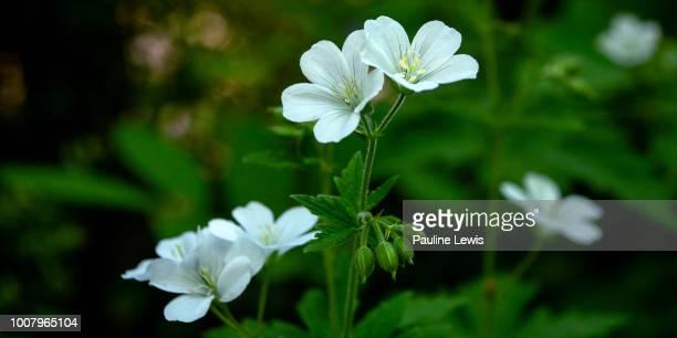 hardy geranium maculatum album - midsommarblomster bildbanksfoton och bilder