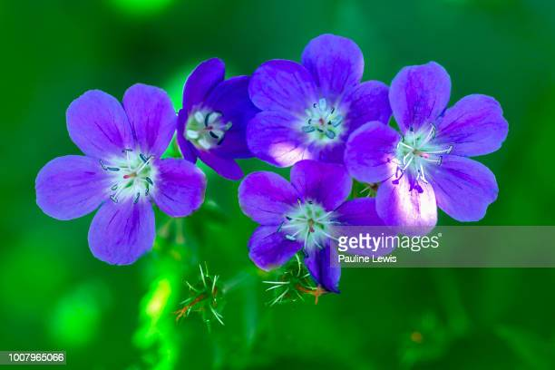 hardy geranium mayflower - geranium stock pictures, royalty-free photos & images