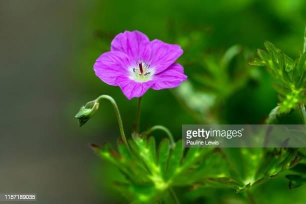 hardy geranium or cranesbill - midsommarblomster bildbanksfoton och bilder