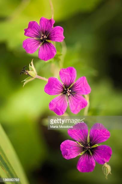 Hardy Geranium 'Patricia' Flower Trio