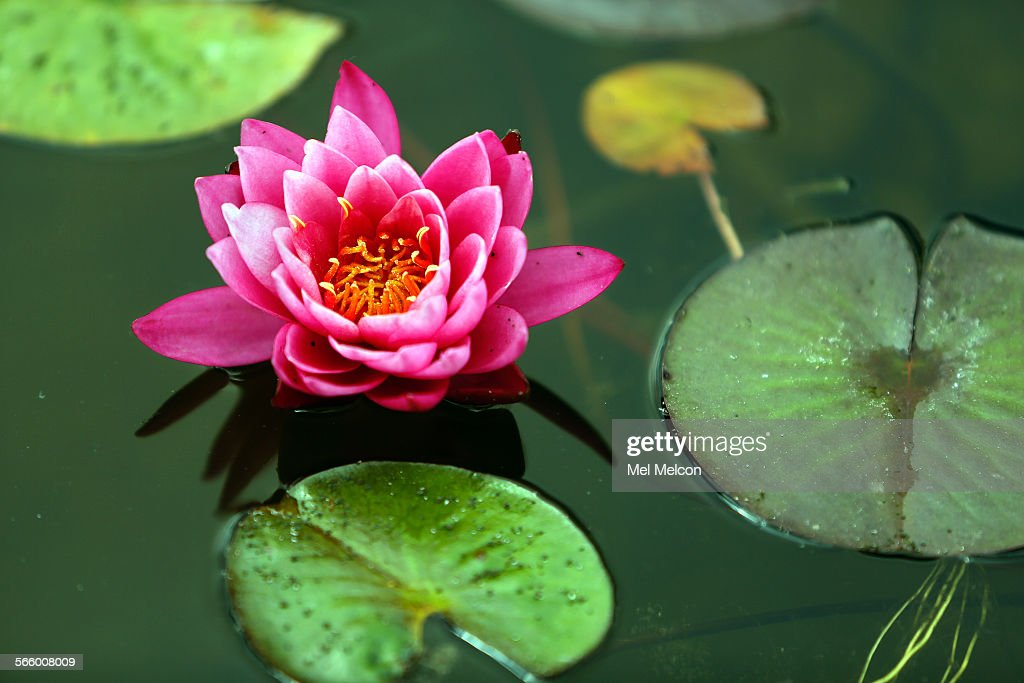 A Hardy Water Lily Grows At Randy Mcdonald S Nursery In Reseda On May 17 2017