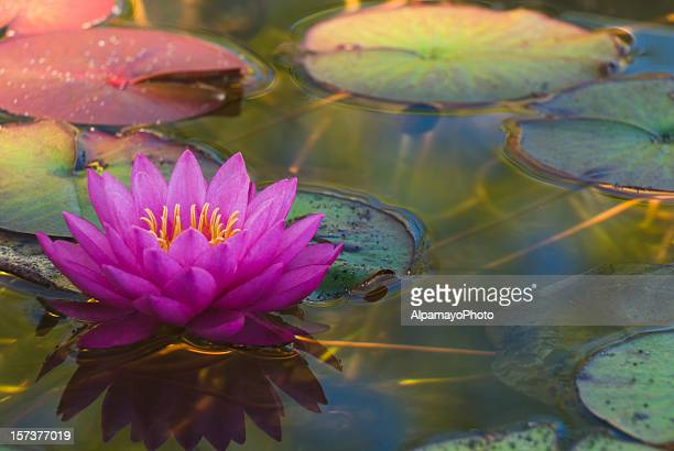 Hardy Waterlily - I