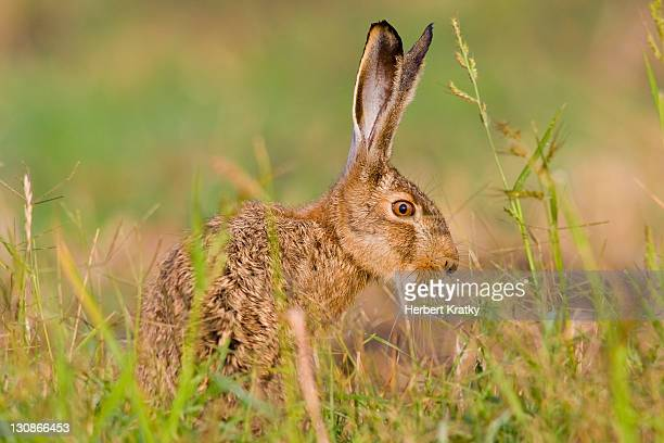 hare (lepus europaeus), apetlon, burgenland, austria, europe - vista lateral stock pictures, royalty-free photos & images