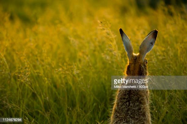 hare from back - hare stock pictures, royalty-free photos & images