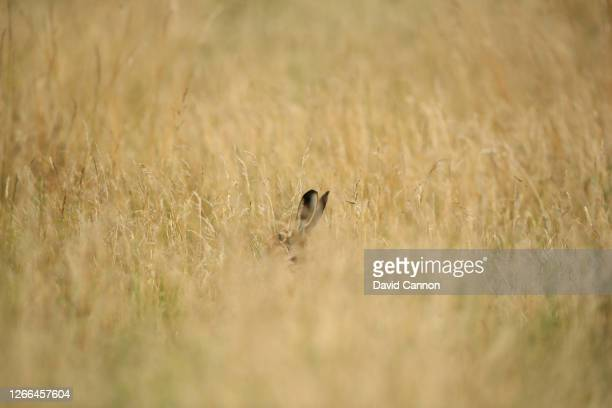 Hare hides in the long grass during the third round of the Aberdeen Standard Investments Ladies Scottish Open at The Renaissance Club on August 15,...
