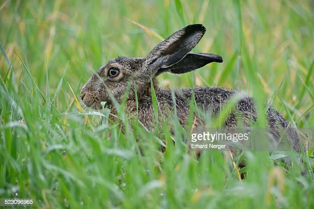 Hare -Lepus europaeus-, Emsland, Lower Saxony, Germany