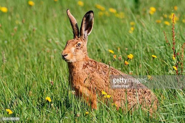 Hare -Lepus europaeus- on a summer meadow, Allgaeu, Bavaria, Germany, Europe