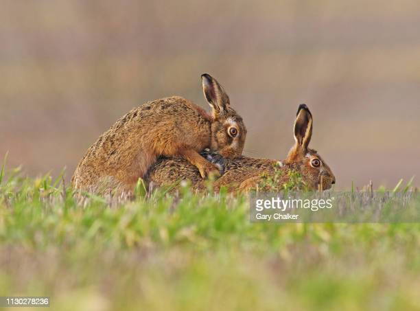 hare [lepus europaeus] - sex stock photos and pictures