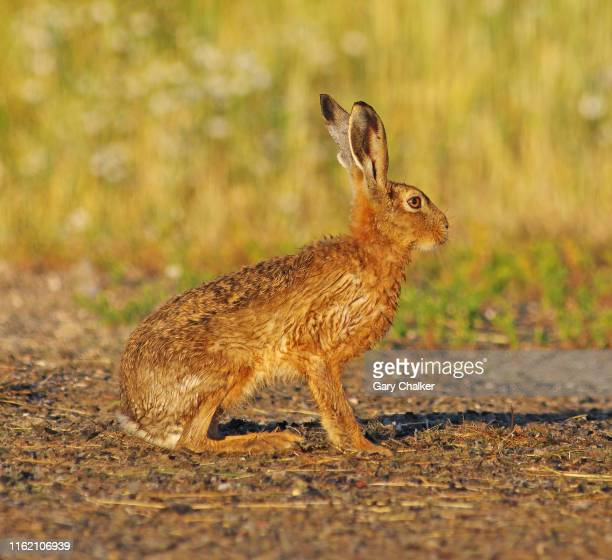 hare [lepus europaeus] - animals in the wild stock pictures, royalty-free photos & images