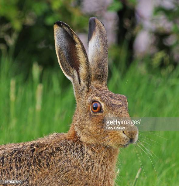 hare [lepus europaeus] - hare stock pictures, royalty-free photos & images