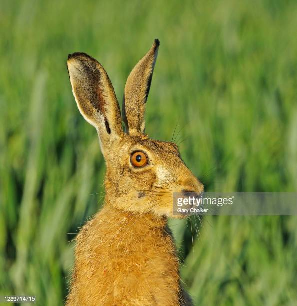 hare [lepus europaeus] - animal eye stock pictures, royalty-free photos & images