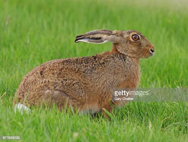 hare [lepus europaeus] - lepre comune foto e immagini stock