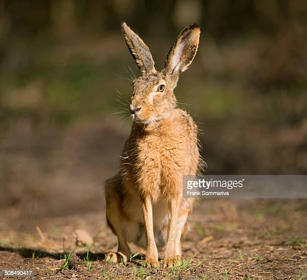 Hare -Lepus europaeus-, sitting on a forest path, Lower Saxony, Germany