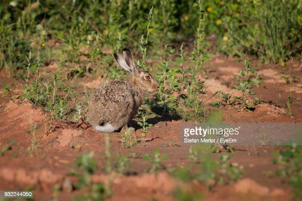 Hare On Field